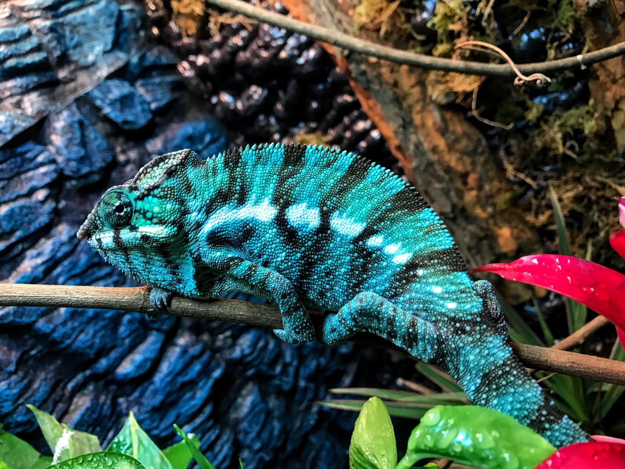 Chromatic Chameleons | Hand Raised Baby Chameleons ...