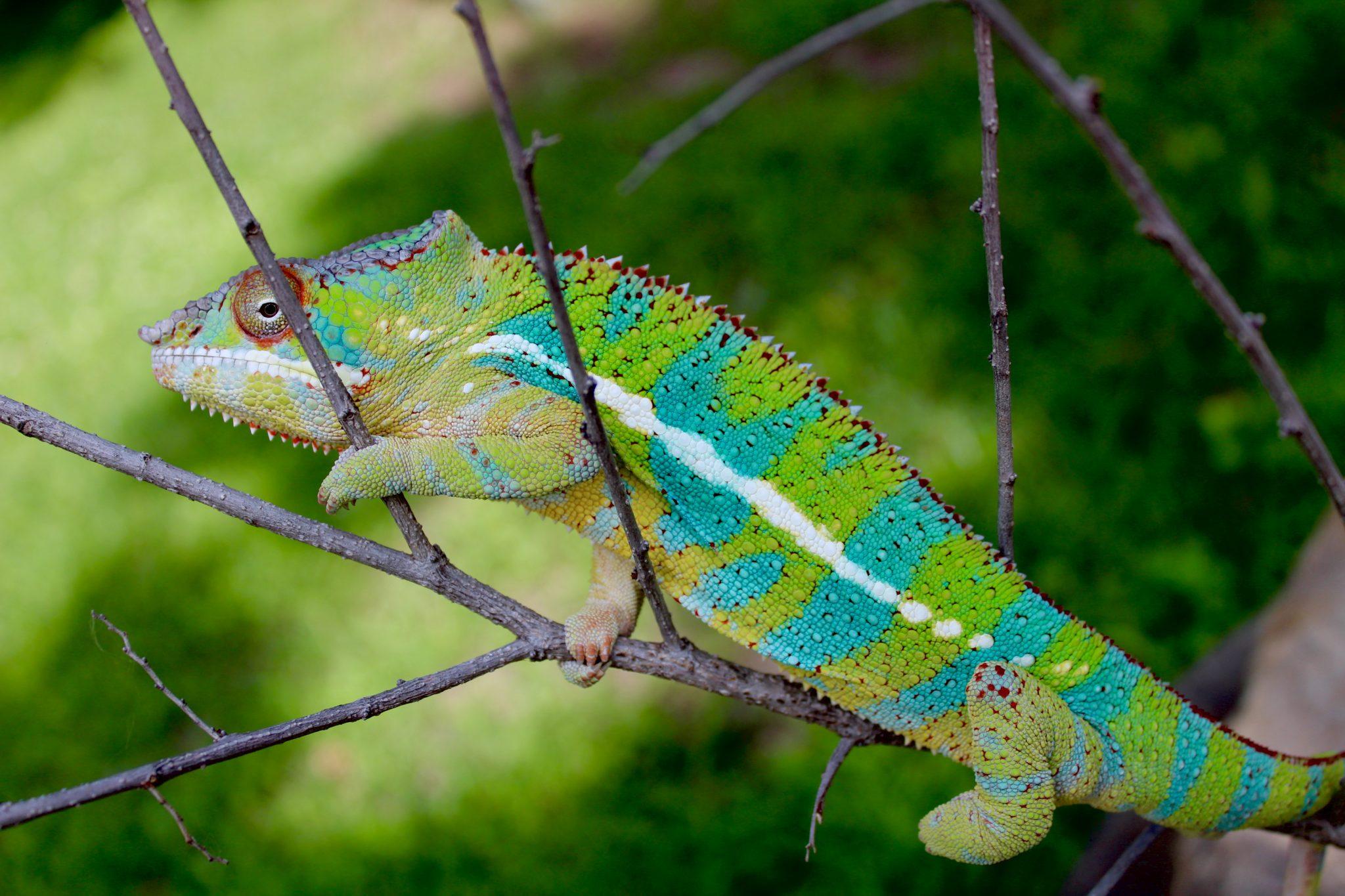 Care Feeding Chromatic Chameleons