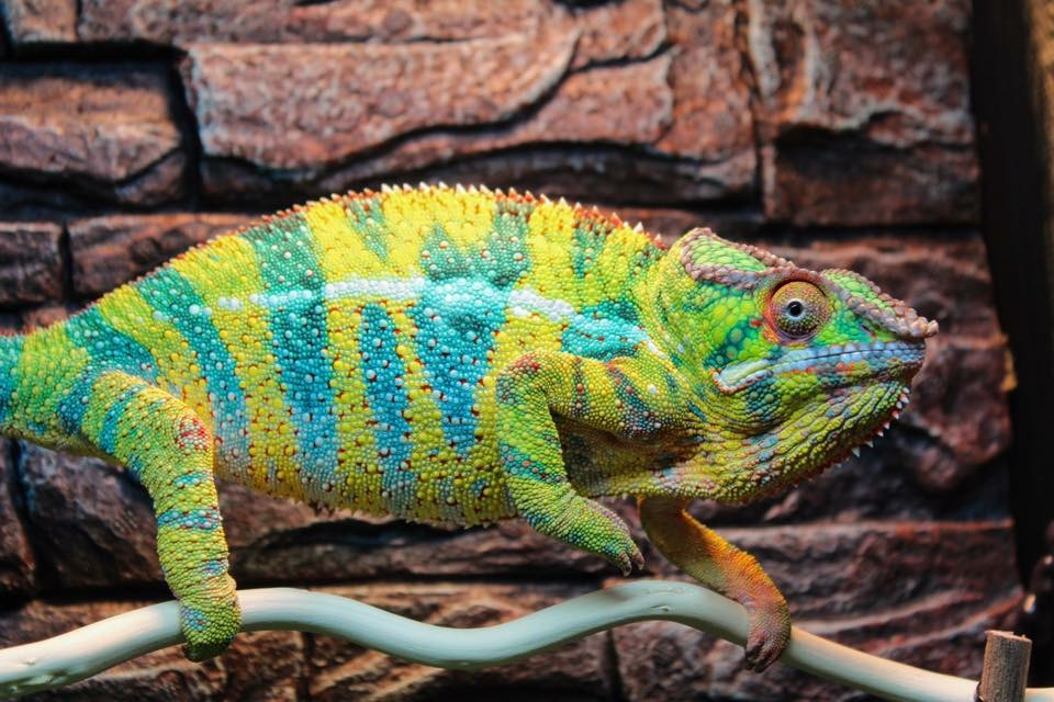 Is a Chameleon the Pet for You?