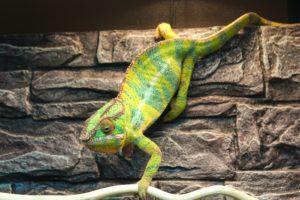 YBBB Ambilobe Panther Chameleon