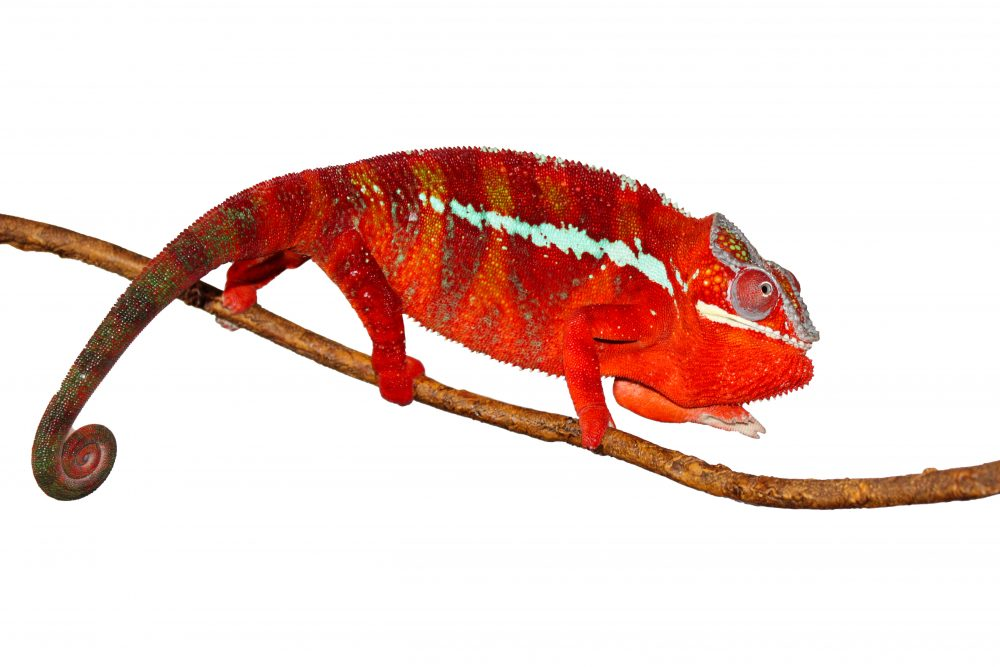 Red Ambilobe Panther Chameleon For Sale