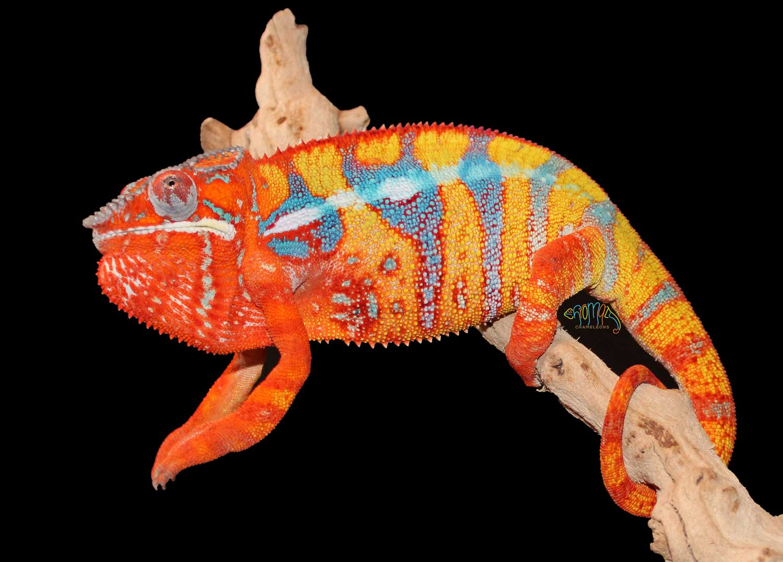 Ambilobe Panther Chameleons for sale