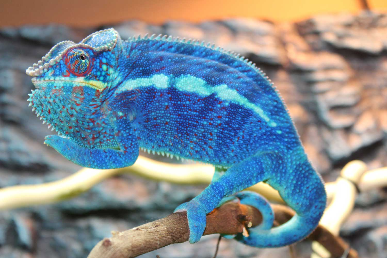 Ambanja Panther Chameleons For Sale - Chromatic Chameleons
