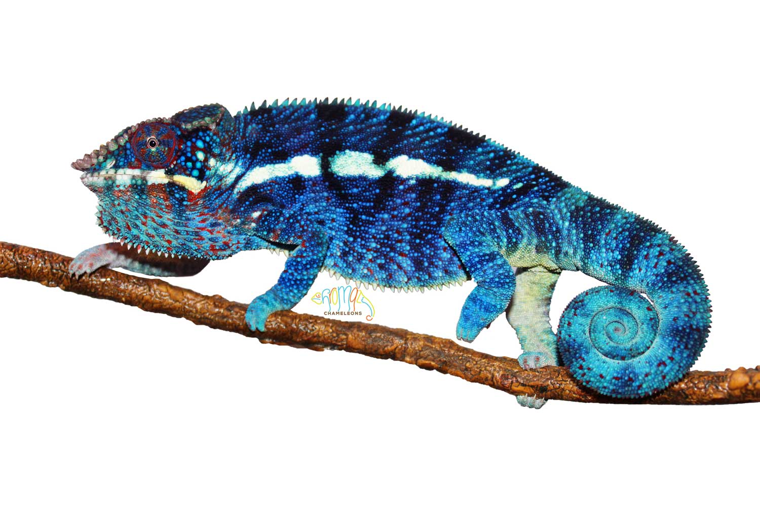 Ambanja Panther Chameleons for sale