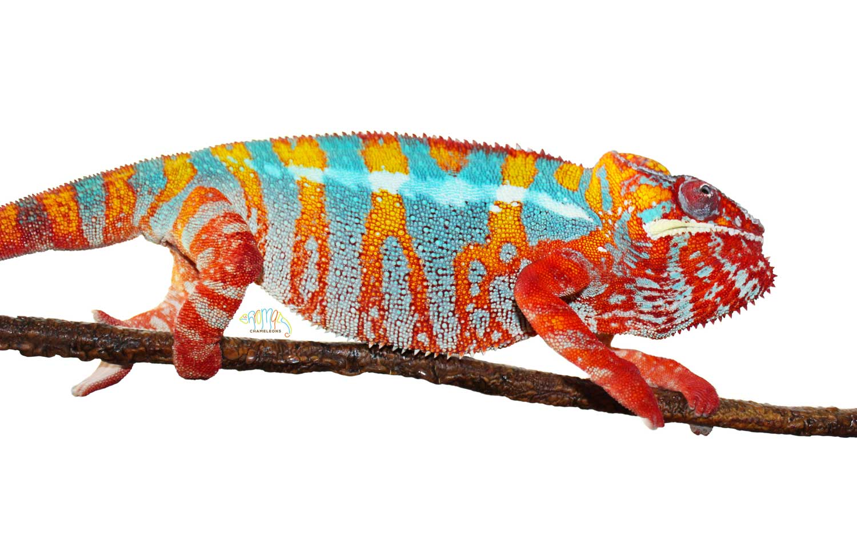 Panther Chameleons for sale