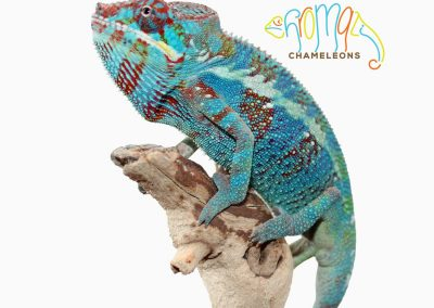 Panther Chameleon for sale