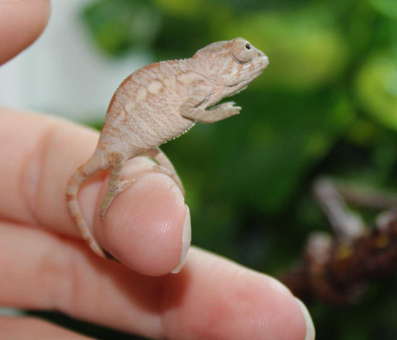 Ambilobe Panther Chameleon For Sale
