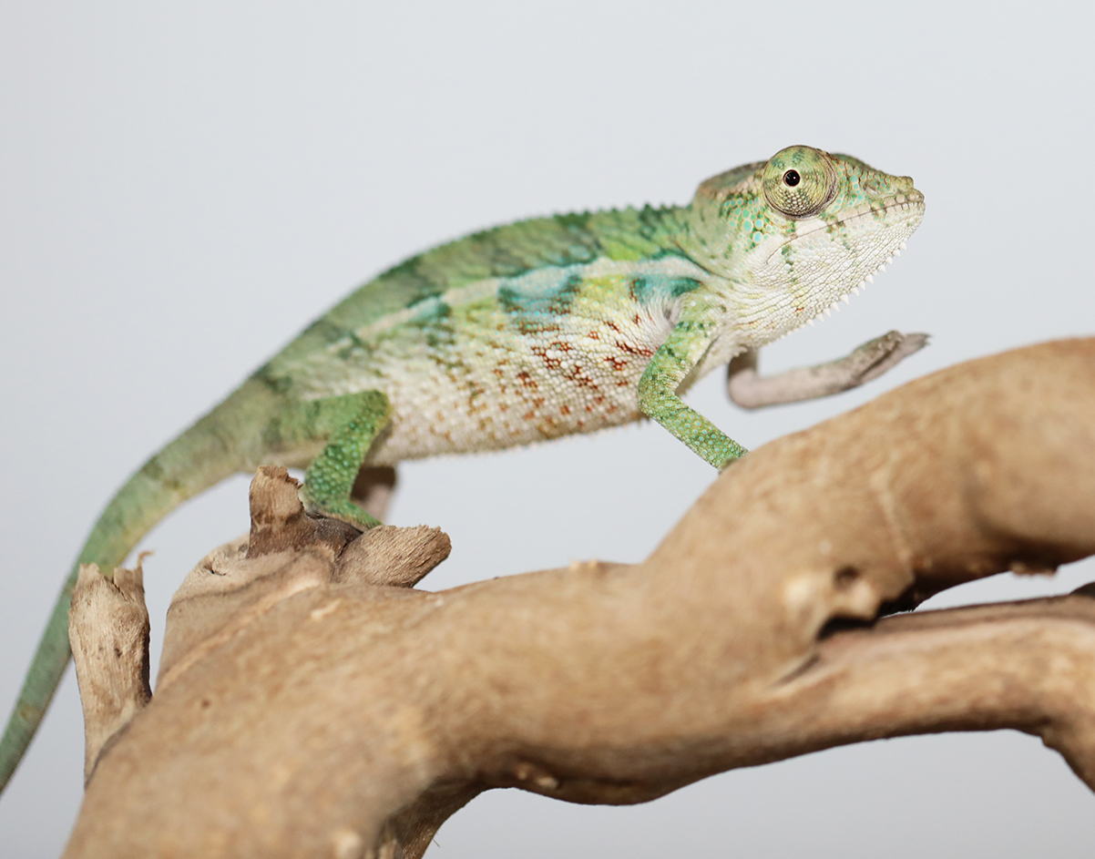Male Ambilobe Panther Chameleon For Sale
