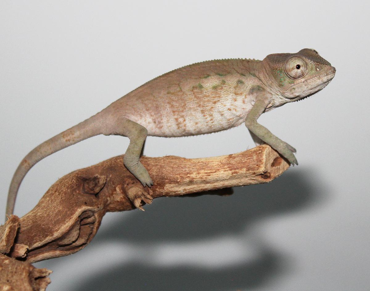 Female Ambilobe Panther Chameleon For Sale