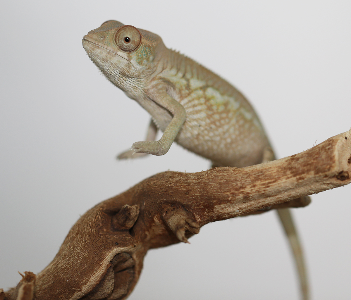 Female panther Chameleon For Sale