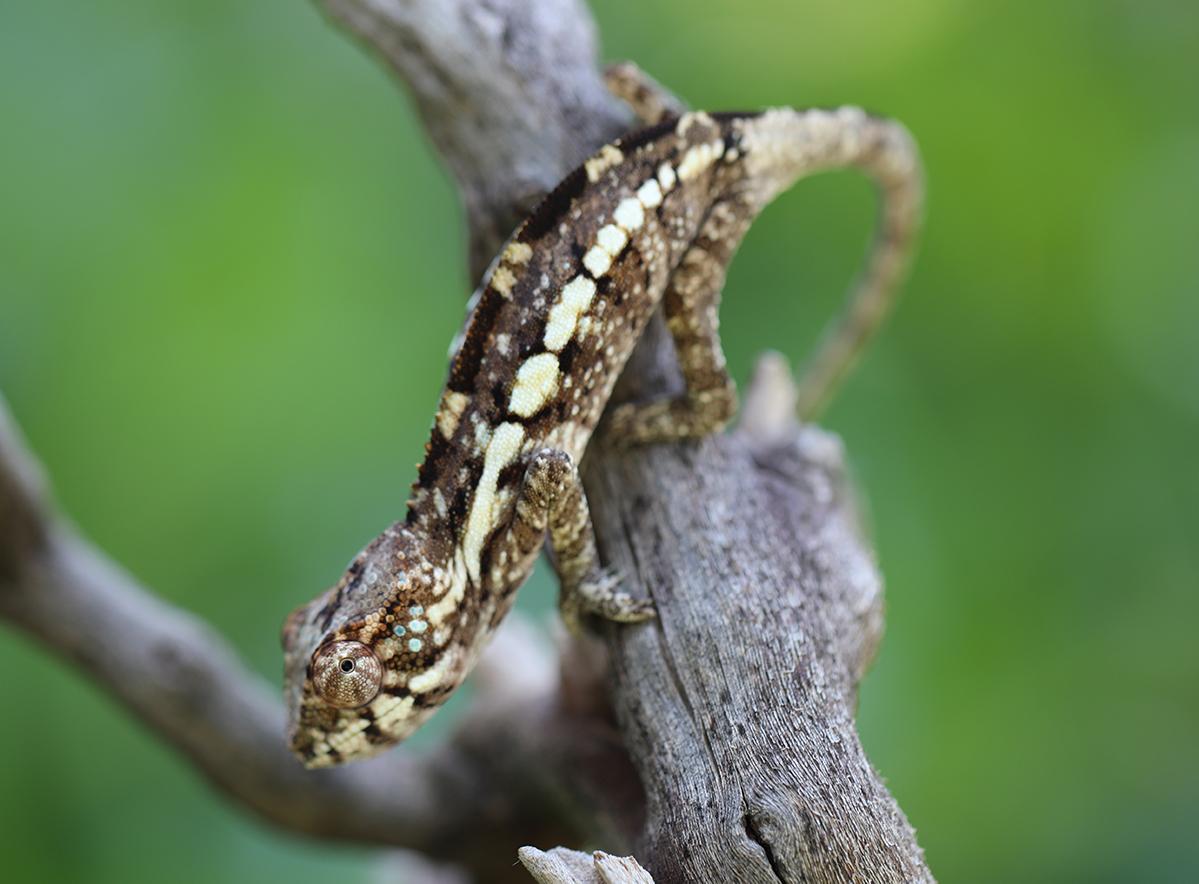 Female Ambilobe Panther Chameleon