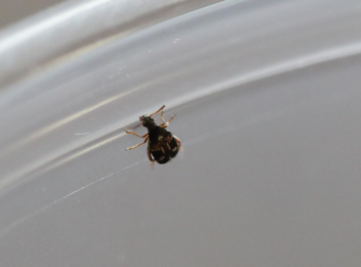 Bean Beetle culture for sale