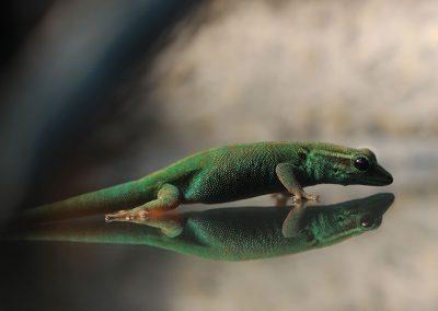 Lygodactylus Williams for sale