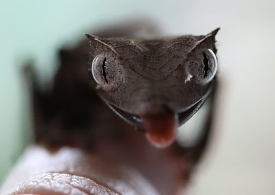 Leaf Tail Gecko for Sale