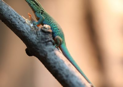 Female Electric Blue Day Gecko