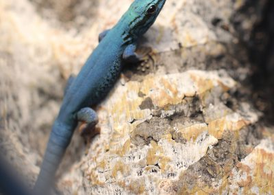 Male Electric Blue Day Gecko