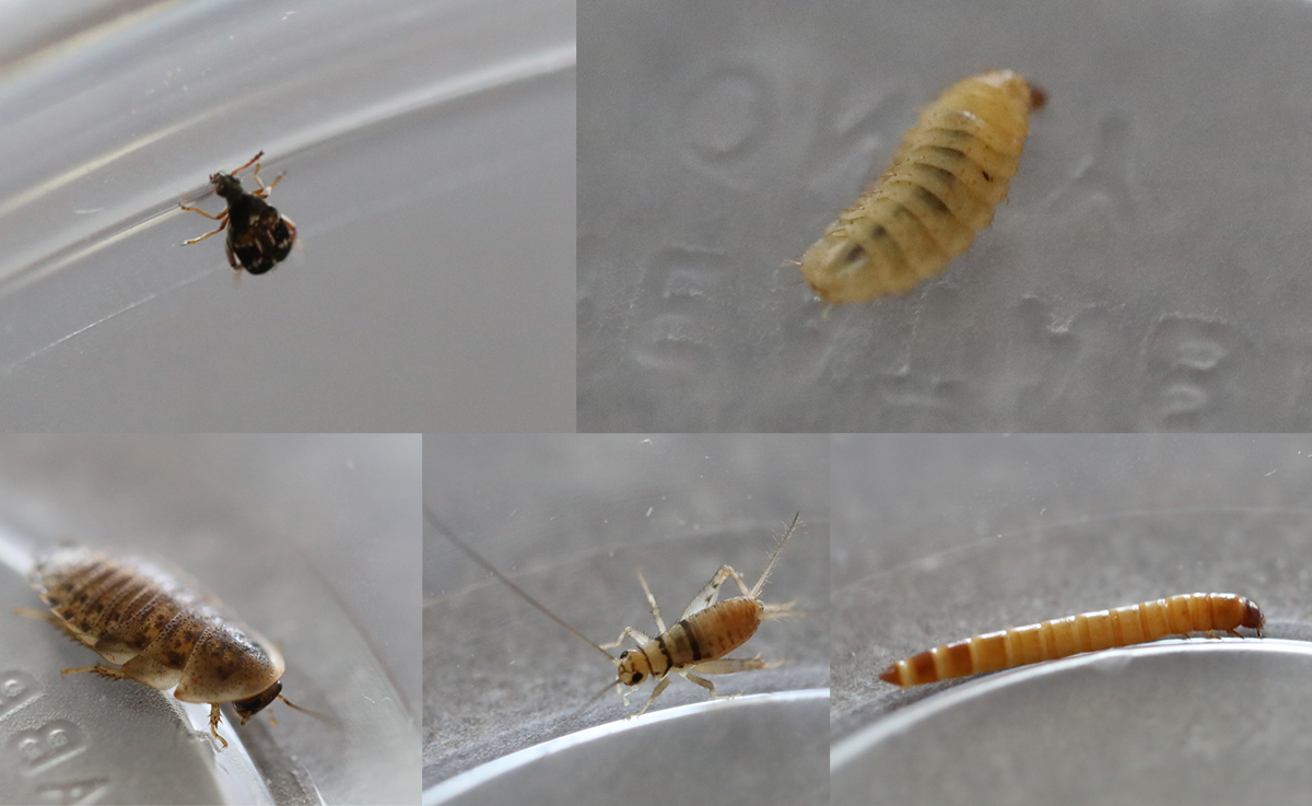 feeder insects for sale