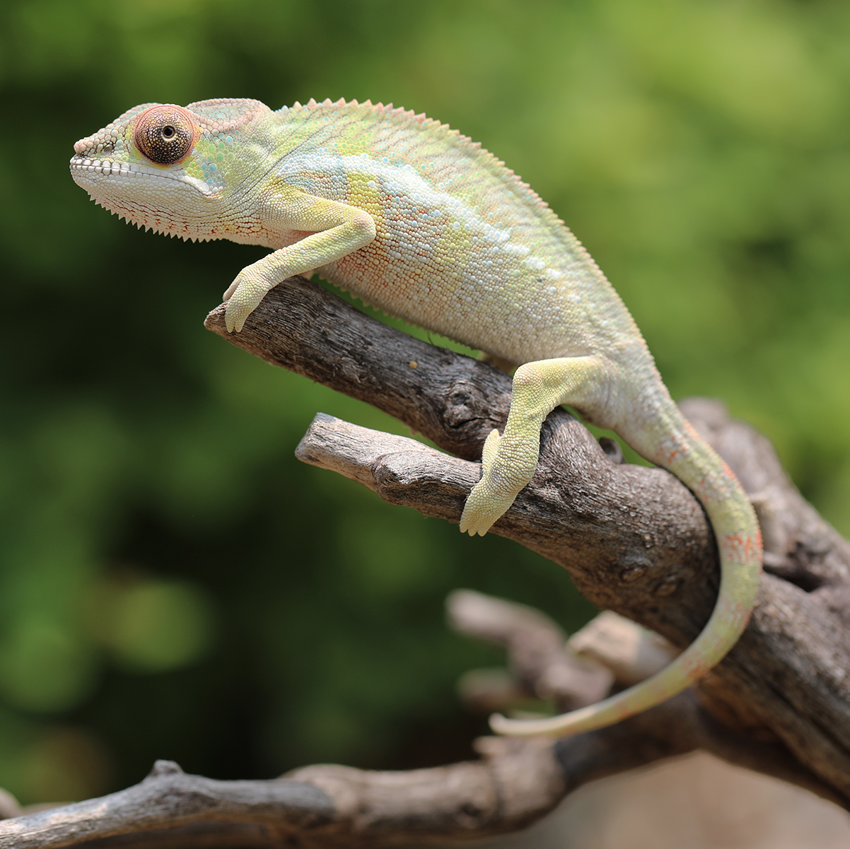 Male Panther Chameleon For Sale