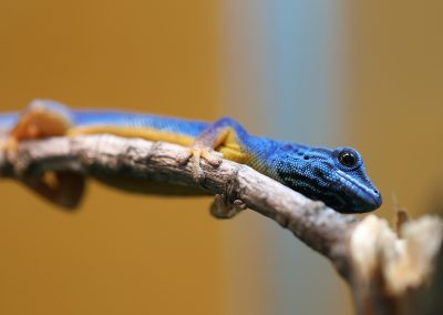 lygodactylus williamsi for sale