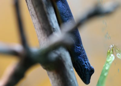 electric blue day gecko for sale