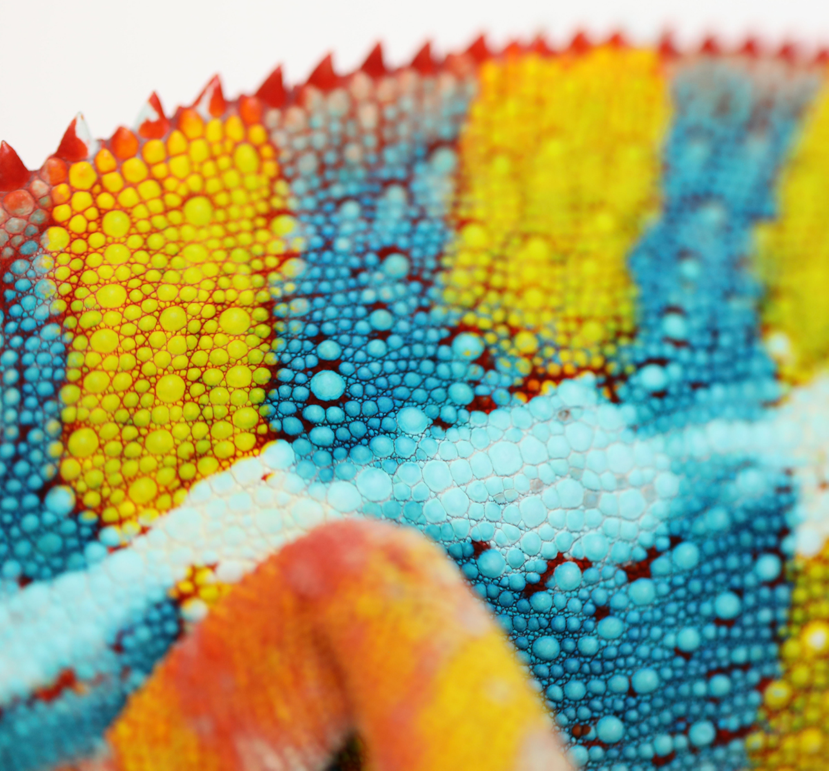 Panther Chameleon Scales