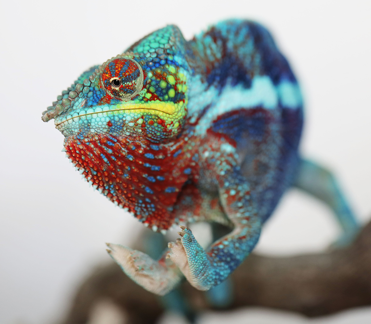Ambanja Panther Chameleon For Sale