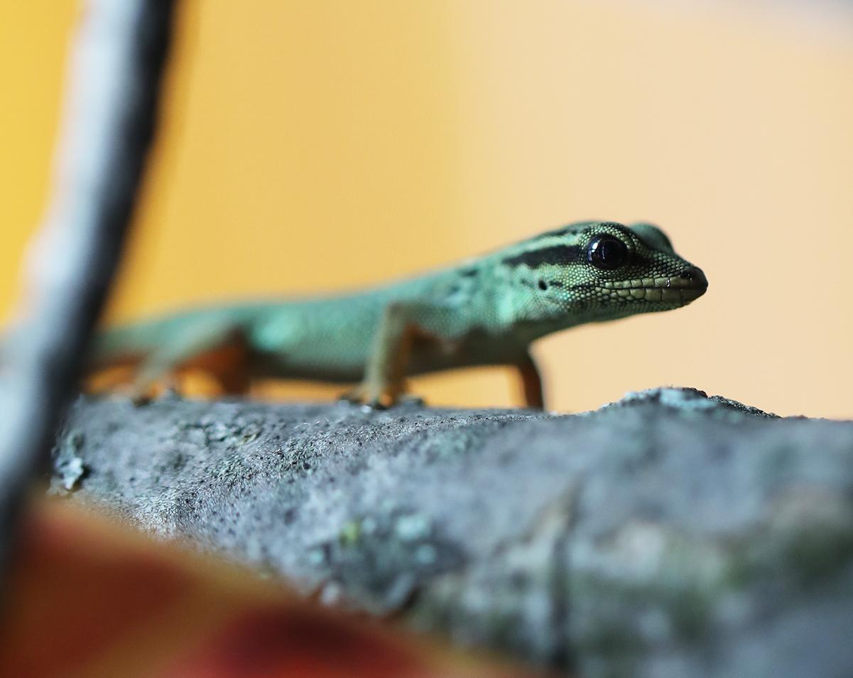 Lygodactylus williamsi for sale