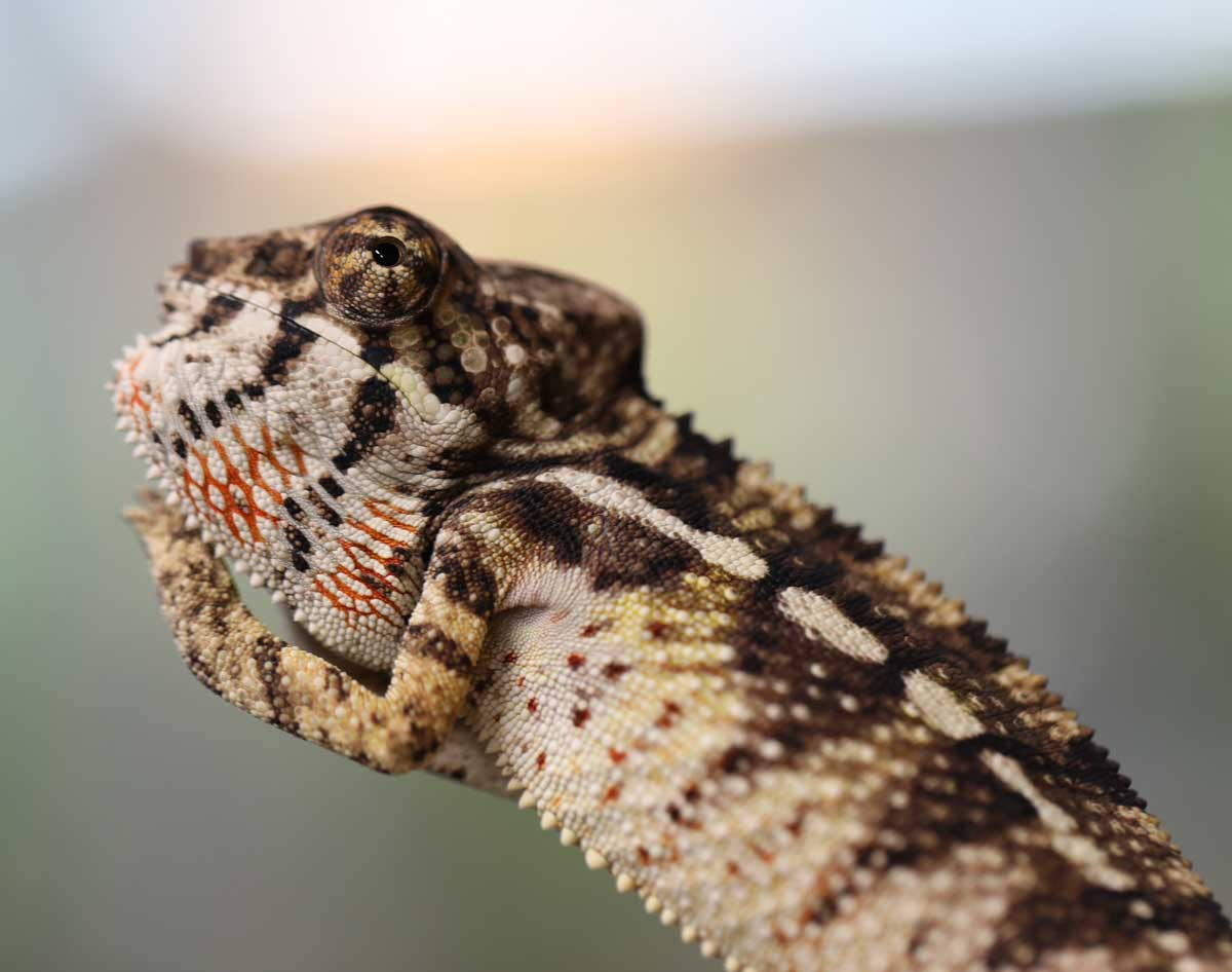 Male Ambilobe Panther Chameleon