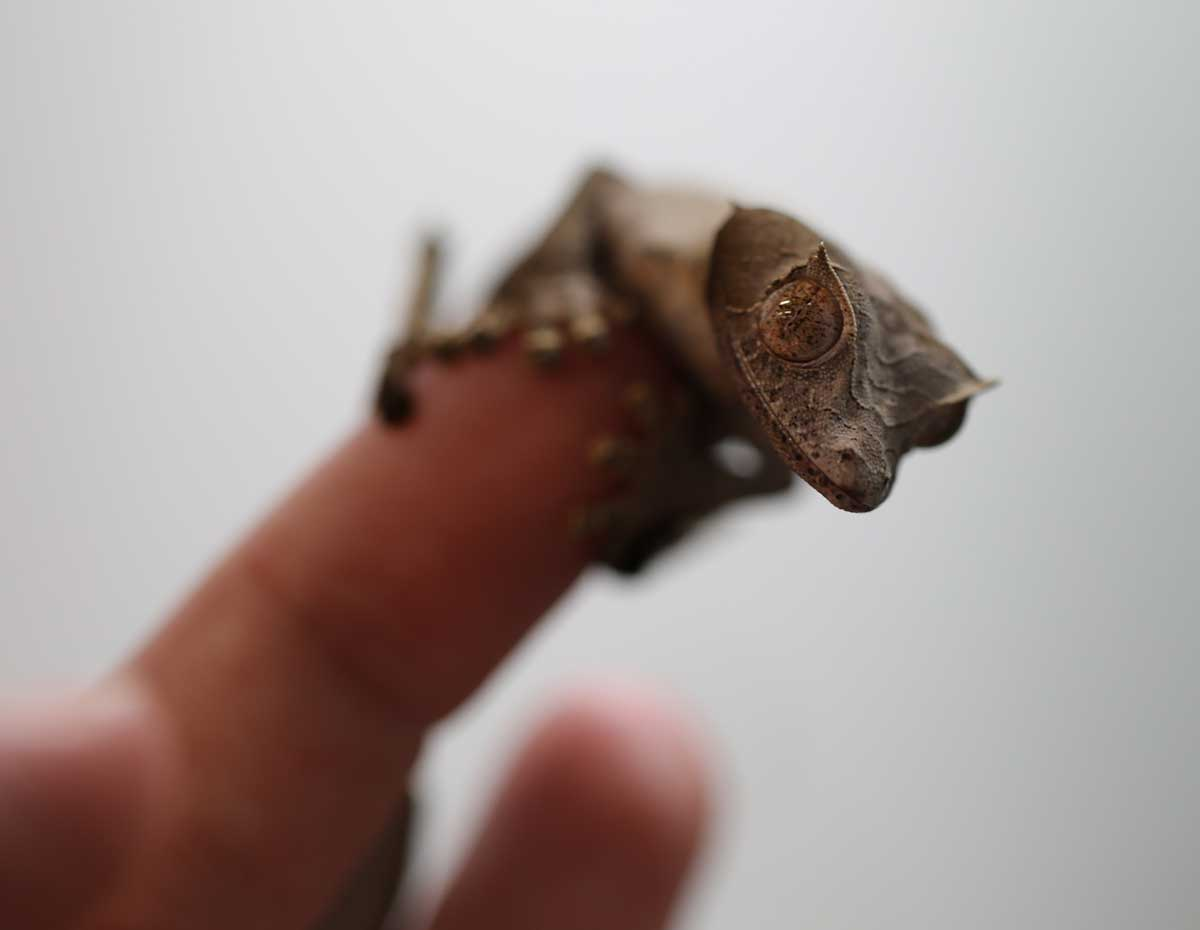 Uroplatus phantasticus for sale