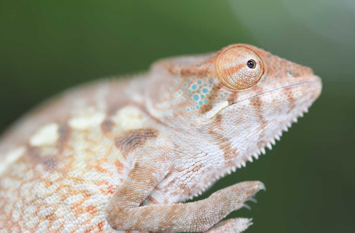 Female Nosy Be Panther Chameleon For Sale