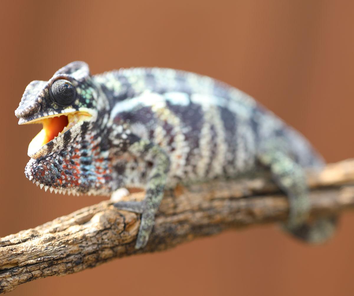 Panther Chameleon For Sale